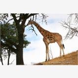 Giraffe 1 Stock Image