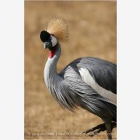African Crowned Crane 1 Stock Image, Wildlife Safari, Winston, Oregon