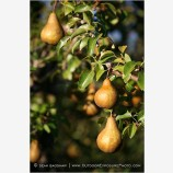 Pears 1 Stock Image