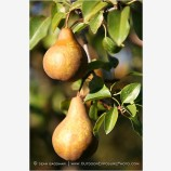 Pears 2 Stock Image