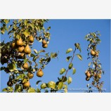 Pears 3 Stock Image
