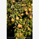 Pears 5 Stock Image
