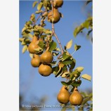 Pears 6 Stock Image