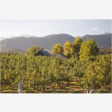 Pear Orchard 10 Stock Image