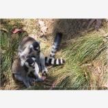 Lemurs Stock Image