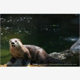River Otter Stock Image,