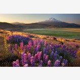 Search For Spring Print, Mt. Shasta, California