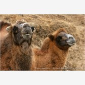 Camels 1 Stock Image