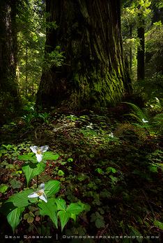 Redwoods-workshop