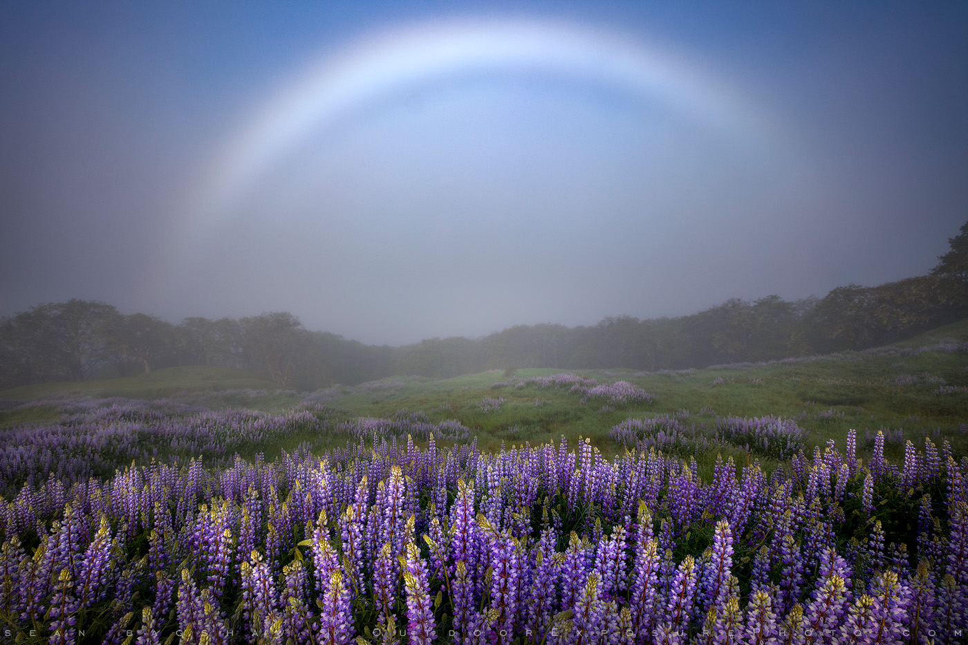 Fog Bow and Lupine, California