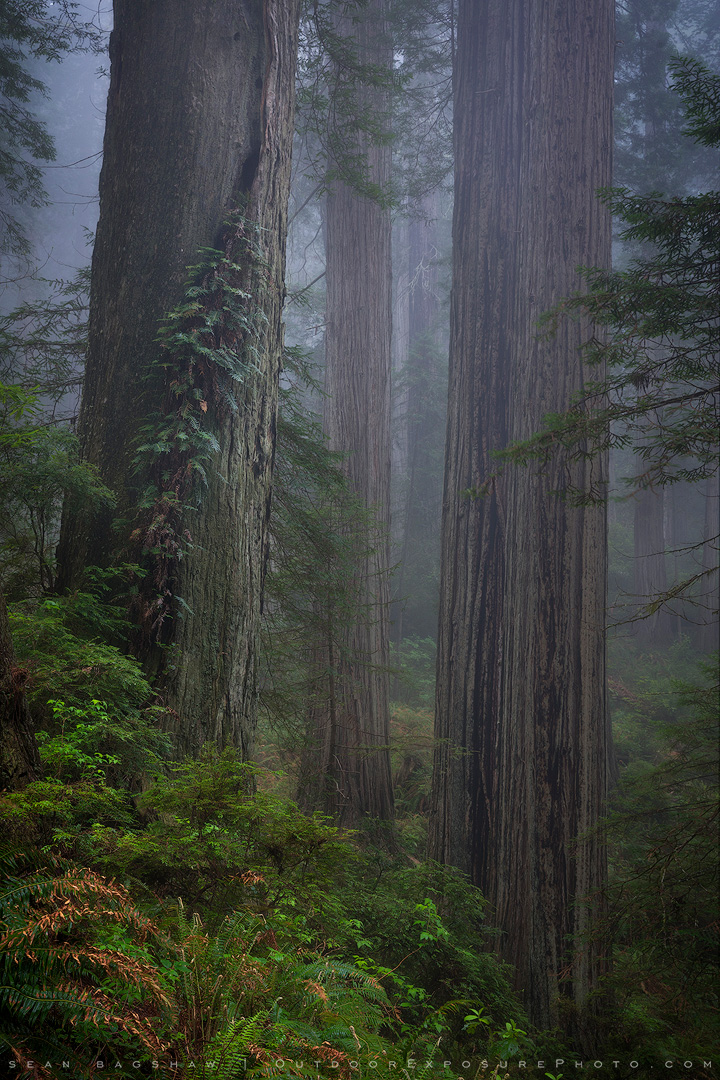 Ancient Trees, California