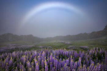 Fog Bow and Lupine